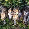 Communiqué de presse n°29 : des espèces protégées encore victimes de tirs pendant le confinement !