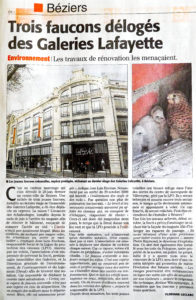 Faucons crecerrelle_Beziers-GLafayette_Midi-Libre - 07_2016